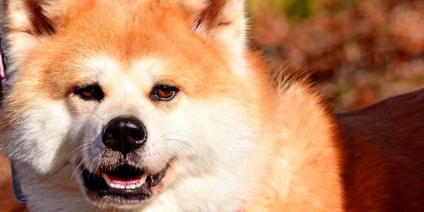 秋田犬(あきたいぬ)