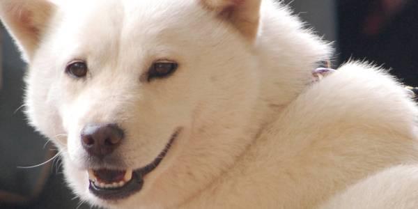 北海道犬(ほっかいどうけん)