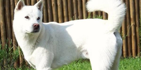 紀州犬(きしゅうけん)